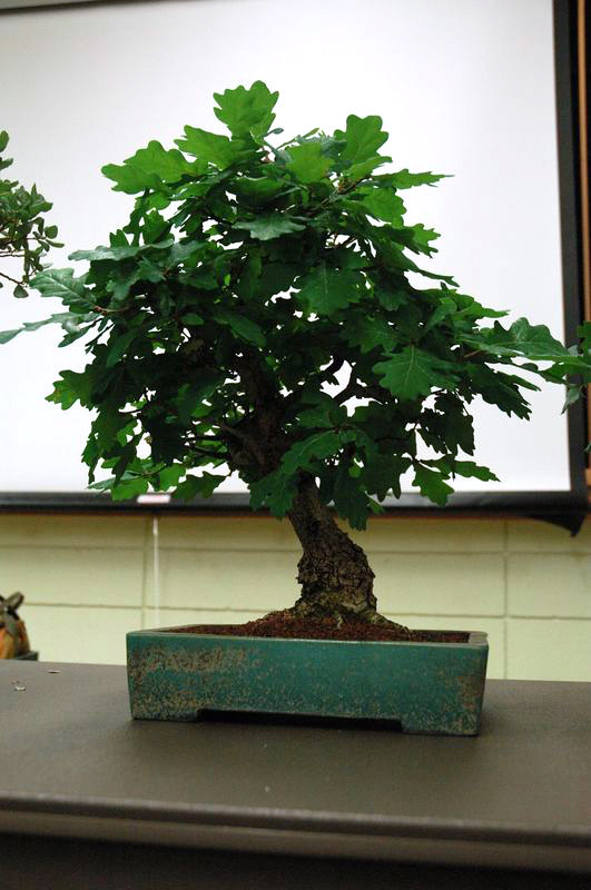 Bssf Bonsai Society Of San Francisco Using Oaks For Bonsai