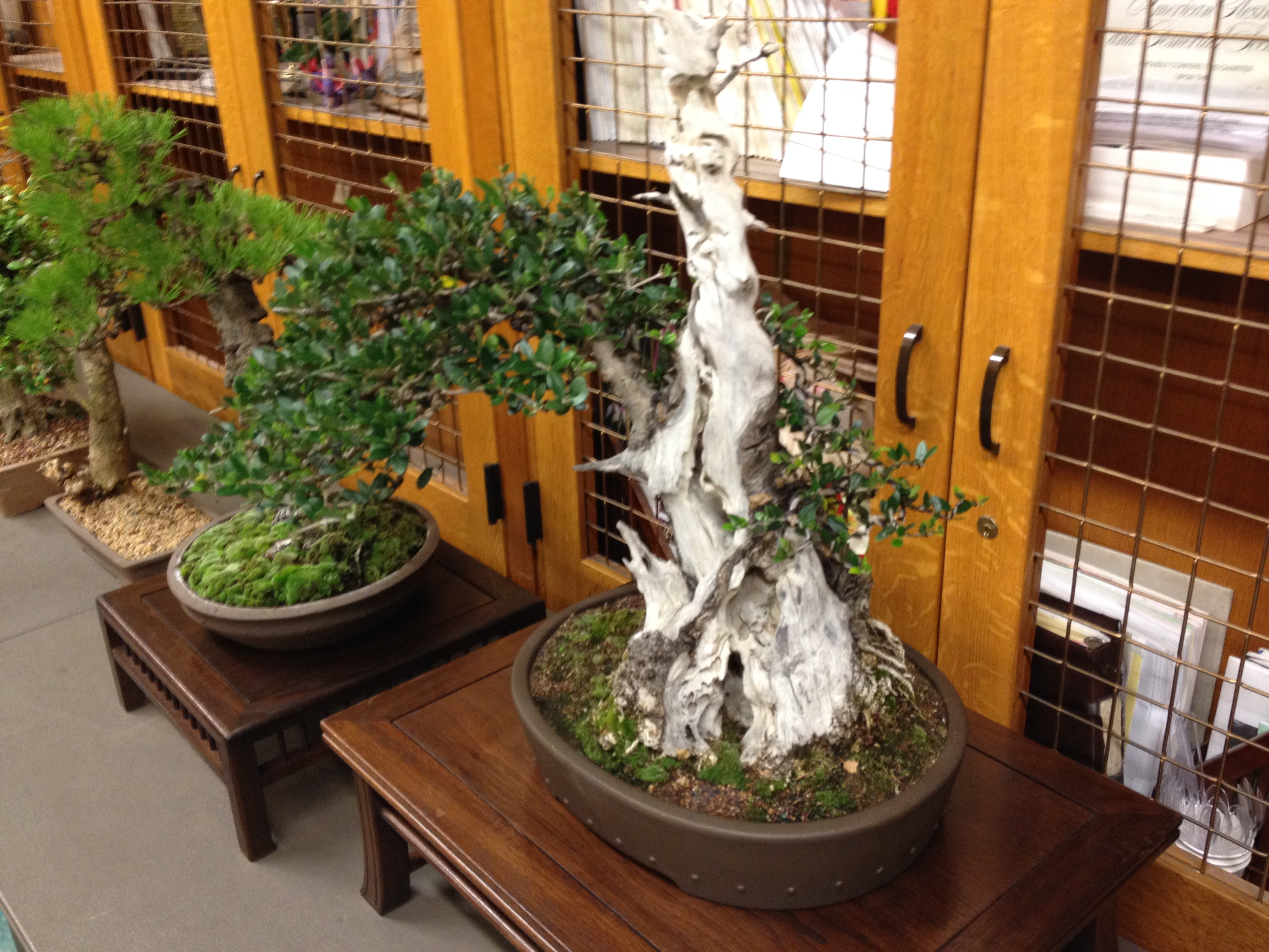 Bssf bonsai society of san francisco bob hilvers on