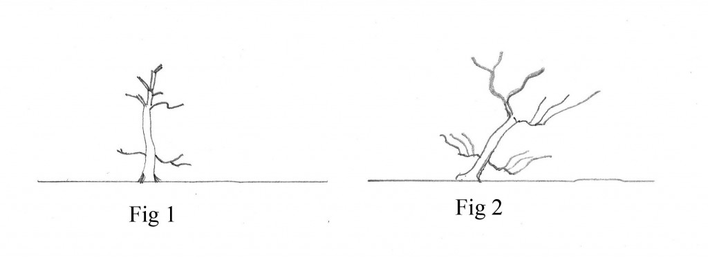 Figure 1 - Typical young deciduous material.   Branching is uneven, inconsistent in angle, underdeveloped and usually in awkward positions.    The trunk is frequently planted at or near vertical and the nebari are inconsistent and underdeveloped.