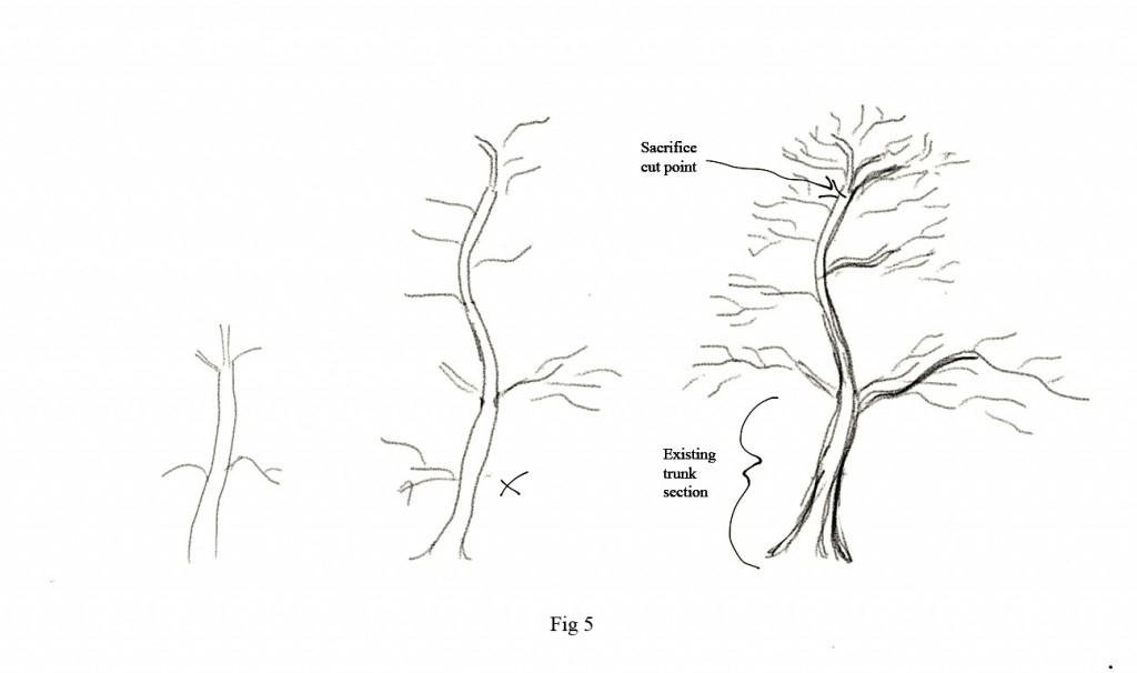 Figure 5 - the same starting point as Figures 1-4 but developed as a more elegant and less powerful trunk.   The angle of the trunk and the severity of the bends in the trunk are the primary difference.