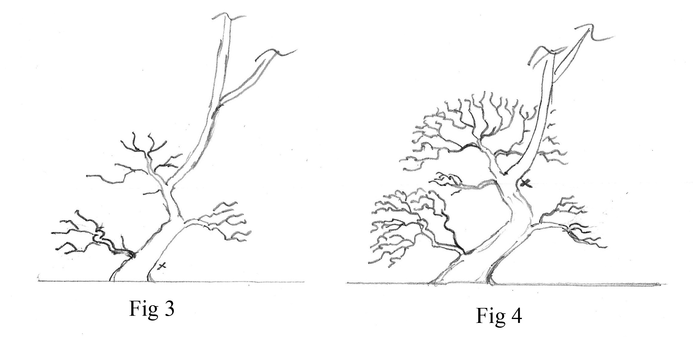 bssf  bonsai society of san francisco  u00bb suggestions for underdeveloped deciduous bonsai