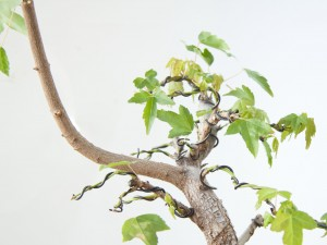 Suggestions for Underdeveloped Deciduous Bonsai