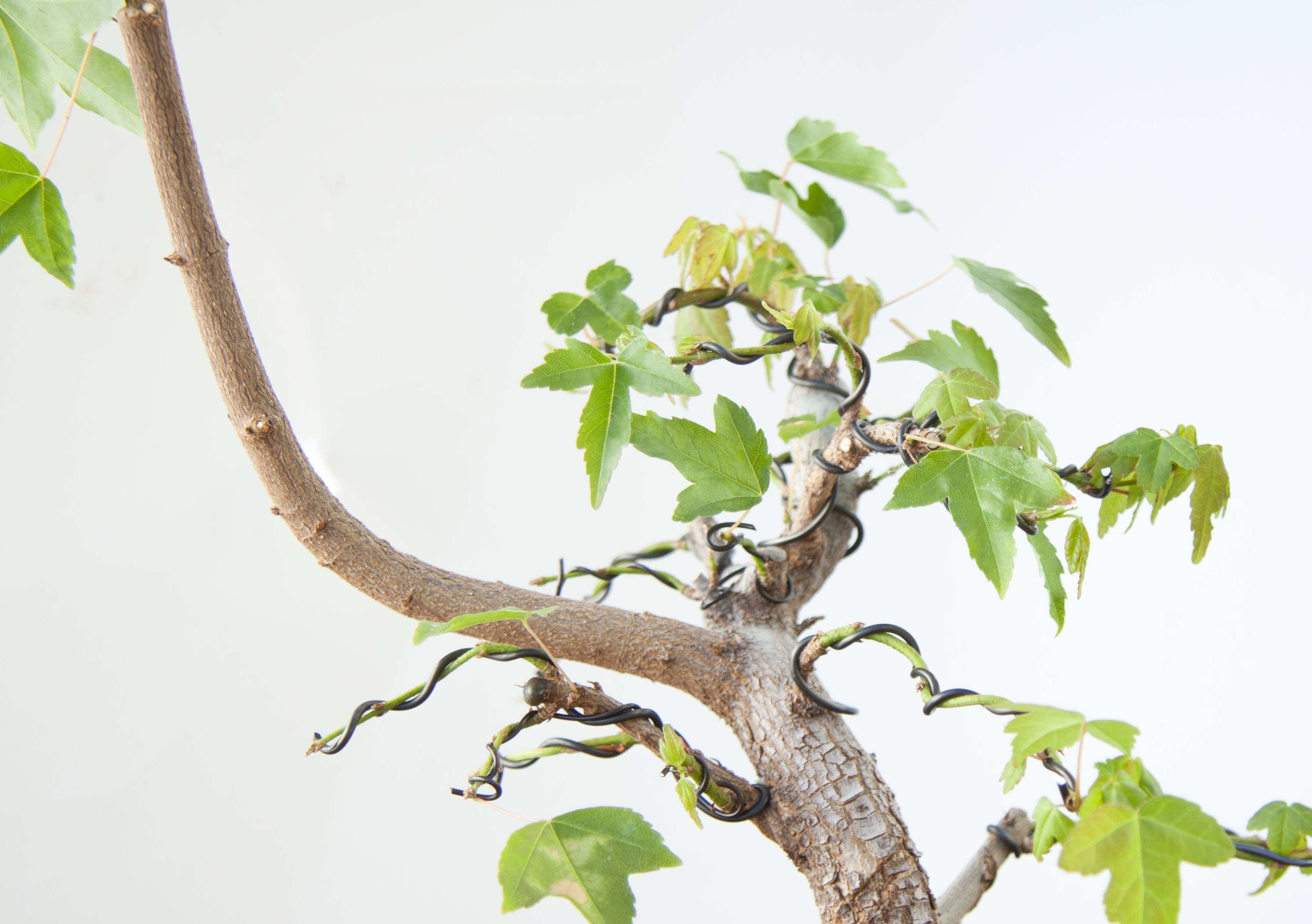 Bssf Bonsai Society Of San Francisco Wiring Lesson Suggestions For Underdeveloped Deciduous