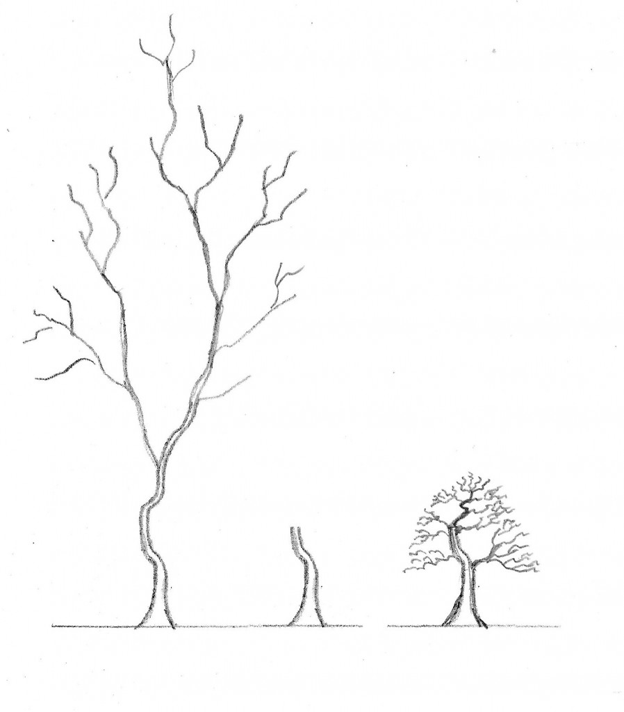 Comparison of a typical Japanese maple from nursery stock and a bonsai Japanese maple.   The nursery stock has long branching without taper.   The usable portion is normally the lowest portion of the trunk.    After 10-15 years of branch development the tree can be a good bonsai with proper taper and proportion in the branching.