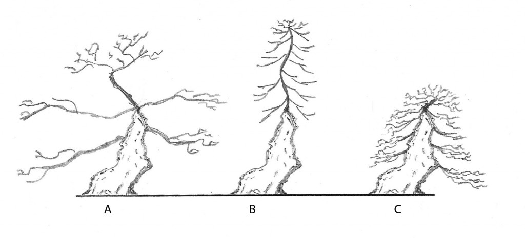 Fig 3.   Good branch placement and proportion can make all the difference in a composition.    Tree A has poor taper in the branching and the branches are too long and not matching in angle.   The apex is also too tall.    Tree B is a poor use of good trunk material; the trunk and branching/apex are dis-associated from each other.   The taper is poor because there is good taper in the main trunk section and no taper in the upper trunk section.  Tree C has good branch placement and apex formation - they are all in good proportion to the trunk.