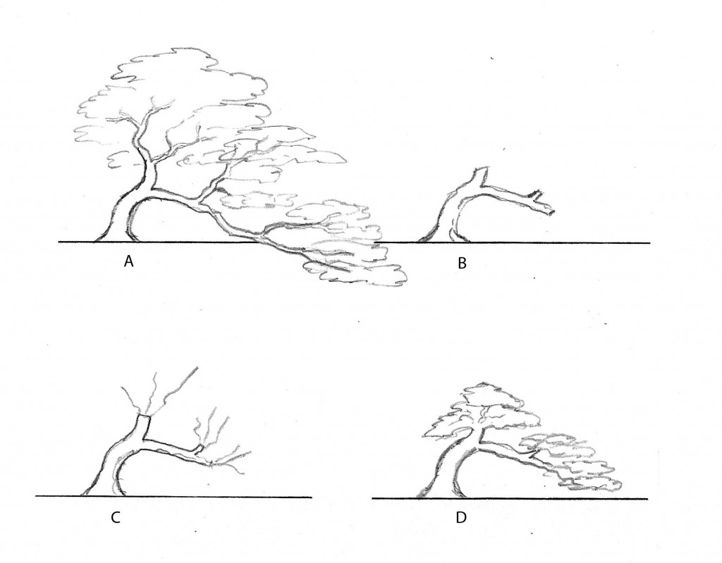 Fig. 4   A - as a conifer this tree is far out of proportion.  The branching is too extensive to allow an appreciation of the trunk line.   As a deciduous tree it may be acceptable but in both cases it could be improved.   As a deciduous tree such as an elm, remove all the long branching (B) and wait for shoots (C) then wire the shoots and train the branches until a tighter silhouette is achieved (D).     As a conifer cutback would need to be in stages, or grafting would be followed by cutback.