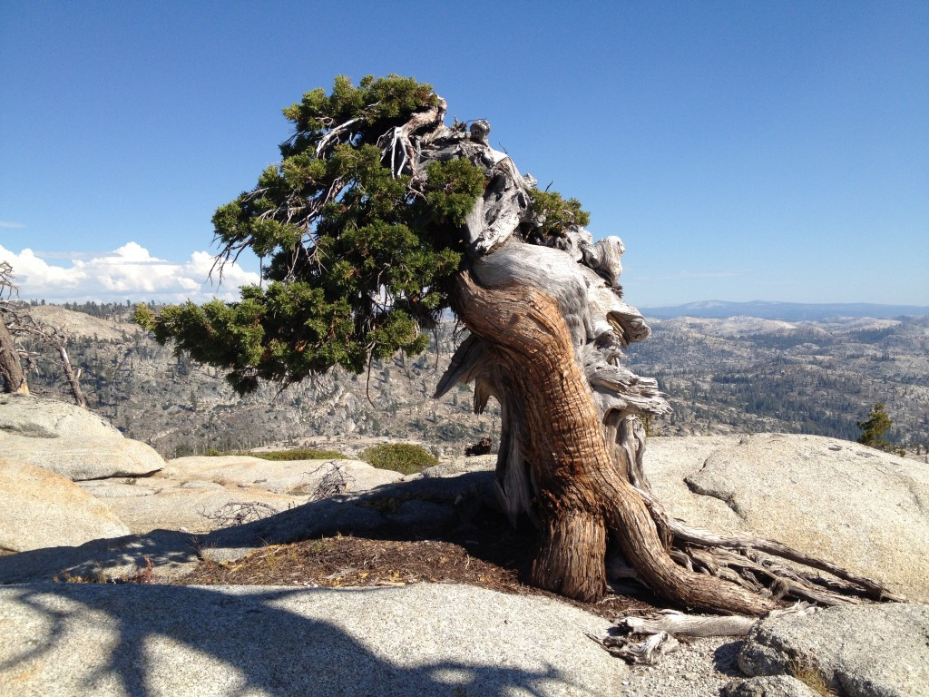 Figure 3. Sierra Juniper near Granite Lake, Emmigrant Wilderness ~8,500 feet
