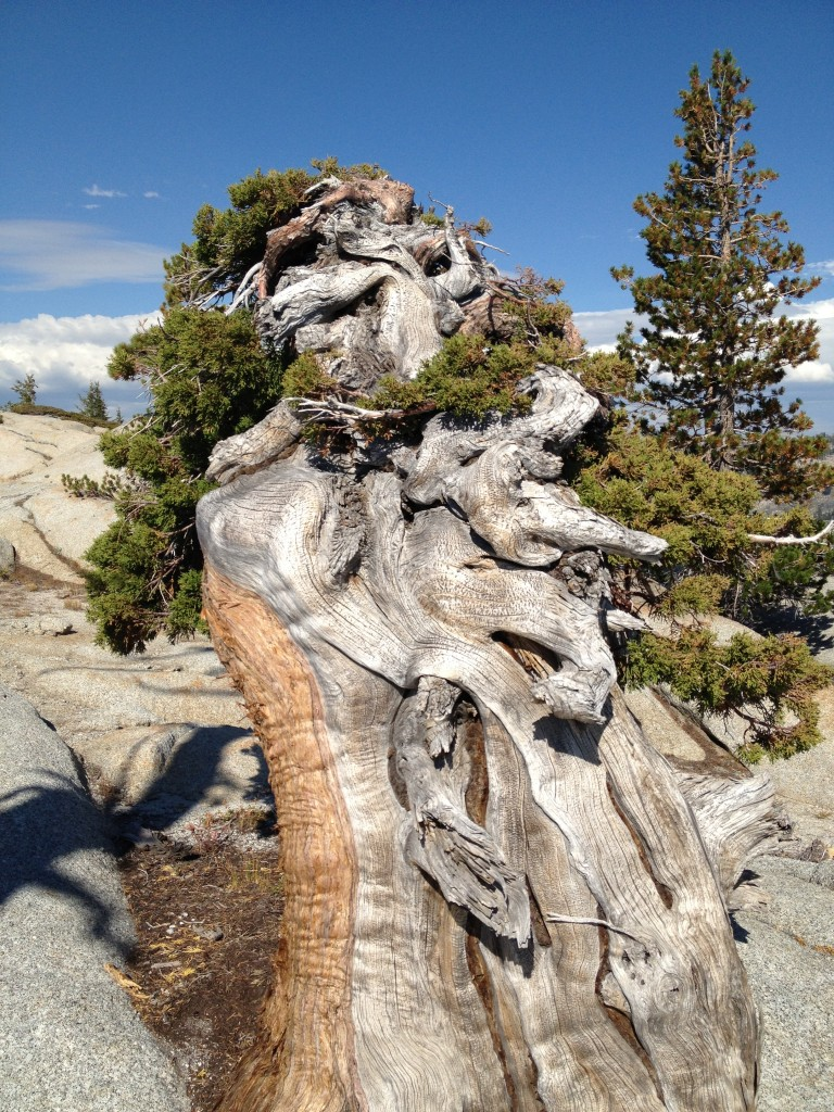 Detail of deadwood on the top of the windward side of the tree.