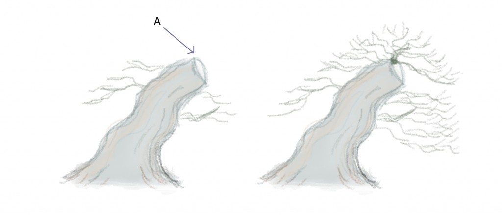 Trident node points.    Tridents will bud profusely at a node.   (A) Select a chop point with a bud facing upward.   Allowing multiple branches from this point will make healing of the chop faster and the possible reverse taper will actually help with the transition.   As the tree matures remove some of the branches to improve the structure.