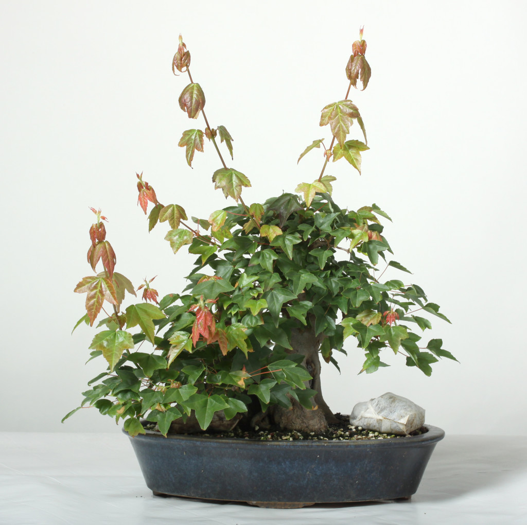 A medium trident maple.   This tree is a good candidate for workshop.   The leaves are too dense, it has vigorous shoots that can be removed and the tree can be defoliated to induce smaller branching.   Expect to spend one or two hours on a tree like this.