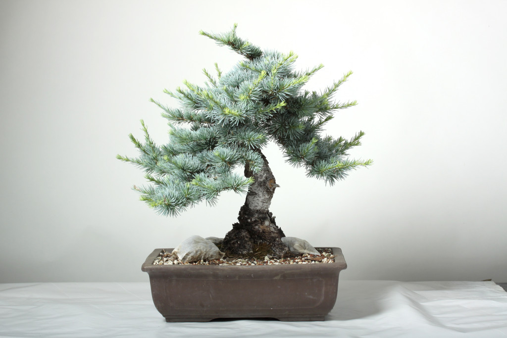 A medium Atlas Cedar.  This tree is overdue for work.   The shoots are vigorous and the tree needs to be thinned.   Expect to spend 4-8 hours on this tree.