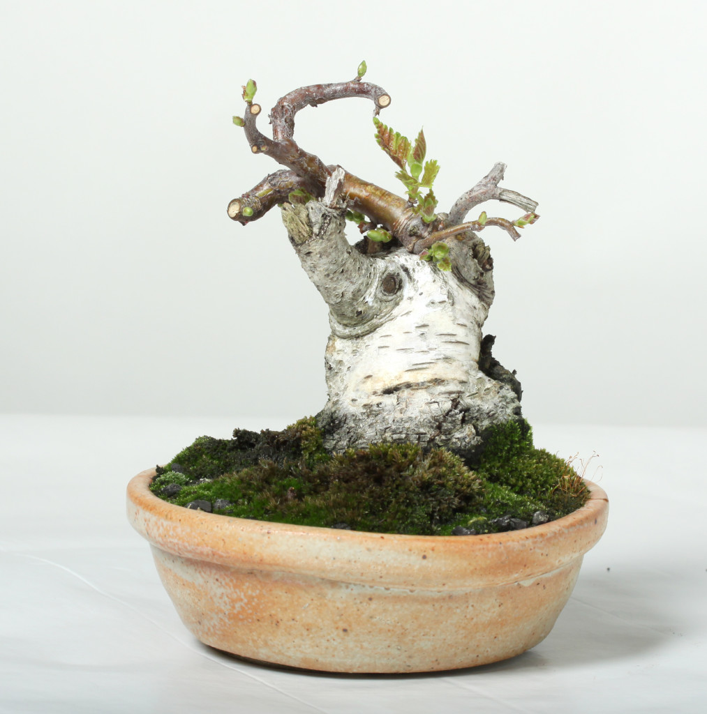 A small birch tree.   The tree was recently trimmed.   This is not a good tree for workshop because the new shoots are too small to touch and the cutback has already been done.   You could discuss the styling with your teacher, but no work would be done.