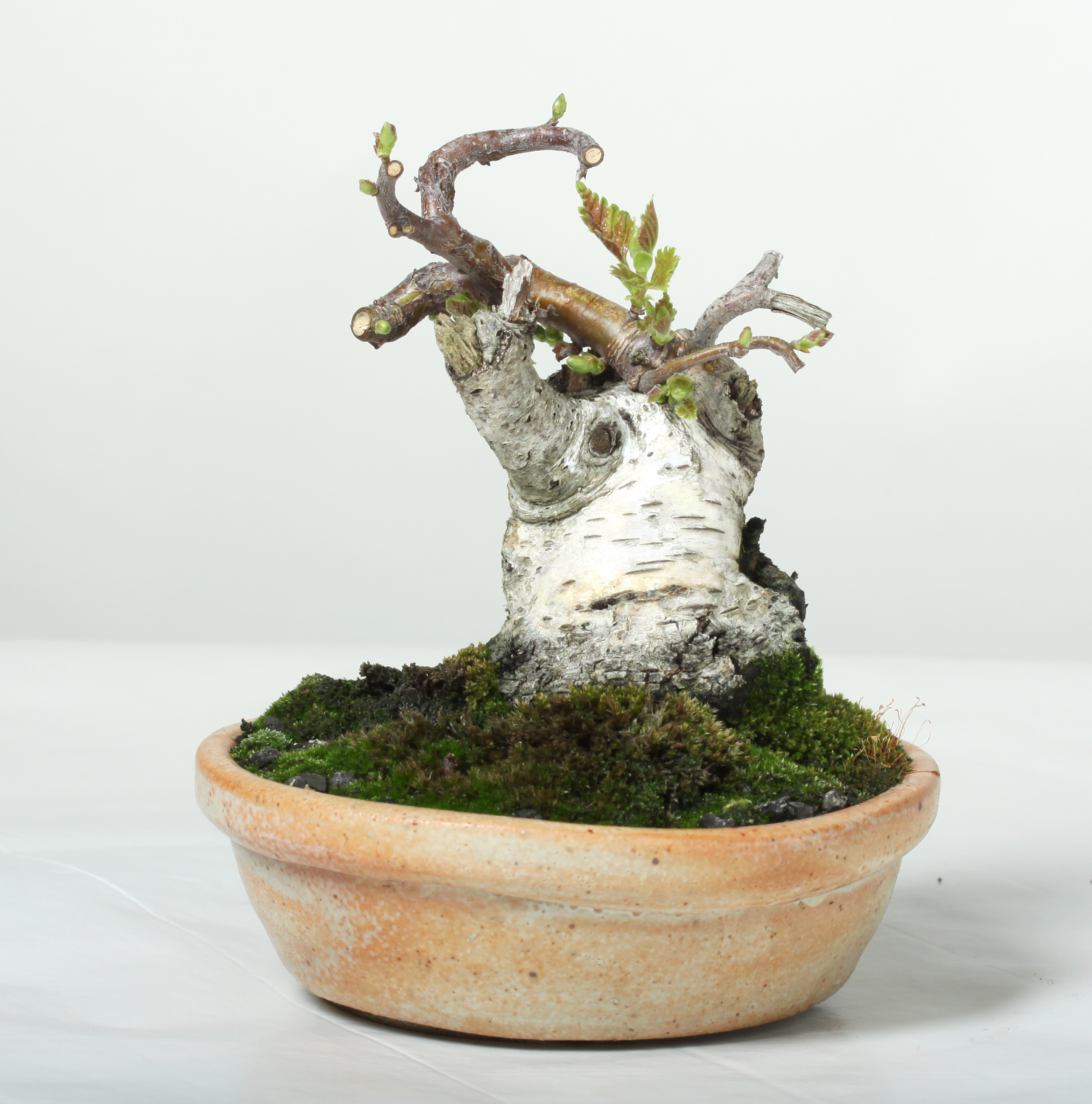 Bssf Bonsai Society Of San Francisco How To Learn In A Workshop