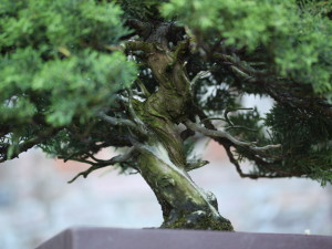 Peter Tea – Bonsai Teacher