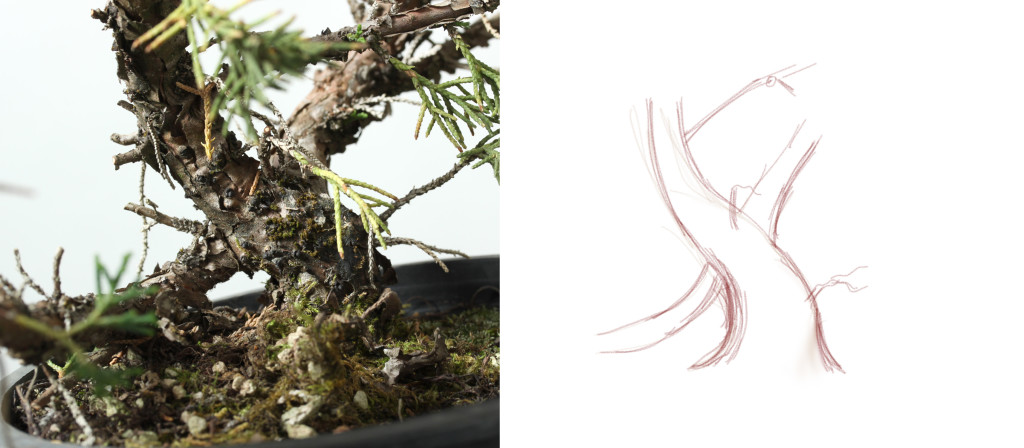 "A photograph of a young piece of Kishu juniper nursery stock and a simplified sketch representing the trunk line and major branching.    Subtracting out all the distracting surrounding can give clarity about what trunk line might be most suitable to your taste or the best style for the future if the tree.   This tree has about a 1"" trunk and could eventually be styled to be a good shohin given the right planning."