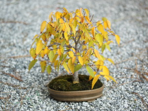 Fall Bonsai Basics – I